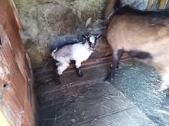 Baby goat (ForceMajeureMontenegro) Tags: montenegro crnagora lipovo village goat černá hora