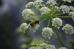 Umbellicious! (Jocelyn777) Tags: maco plants flowers insects bee bumblebee cowparsley umbellifers nature outdoor