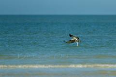 Sea fishing (Beve Brown-Clark) Tags: water winter wildlife osprey fish snook birdofprey raptor nature avian beach bevebrownclark bird florida usa