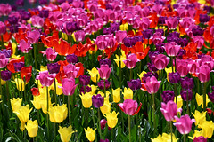 Tulips (Anthony Mark Images) Tags: flowers spring tulips yellow pink violet red pretty prettyflowers gatineau québec flickrclickx canada nikon d850 lovely beautiful sunny bright
