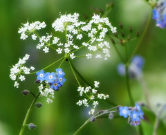 Wild Parsley and Forgetmenots (eric robb niven) Tags: ericrobbniven scotland dundee birnam dunkeld wild flowers parsley springwatch