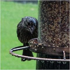 Soaking wet bird on one of our bird feeders   June 8th, 2019 (steveartist) Tags: birds wetbirds rain birdfeeder birdseed telephoto raindrops sonydscwx220 snapseed stevefrenkel bokeh grass