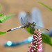 Blue dasher visits the flower garden