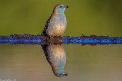 Blue Waxbill at the Mkhombe hide (Lassetjus photo) Tags: zimanga bird nikon d500 reflection water hide blue waxbill