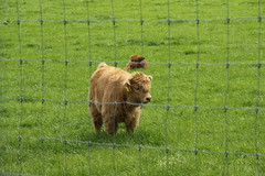 Beecraigs Country Park, Scotland (Paul Emma) Tags: uk scotland lothian linlithgow beecraigscountrypark beecraigs countrypark cow cattle highlandcow