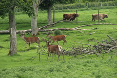 Beecraigs Country Park, Scotland (Paul Emma) Tags: uk scotland lothian linlithgow beecraigscountrypark beecraigs countrypark deer