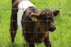 Beecraigs Country Park, Scotland (Paul Emma) Tags: uk scotland lothian linlithgow beecraigscountrypark beecraigs countrypark cow
