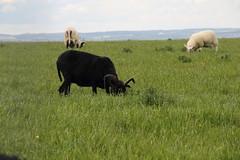 Beecraigs Country Park, Scotland (Paul Emma) Tags: uk scotland lothian linlithgow beecraigscountrypark beecraigs countrypark sheep