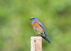 Western Bluebird (C-O) Tags: ca lake bird nature bokeh south may el western bluebird monte legg 02corr011 may02corr park regional narrows whittier