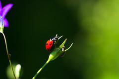 Ladybird (Theo Crazzolara) Tags: lady bug ladybird ladybug sun nature natural garden spring summer little cute luck glück happy animal insect wild wildlife marienkäfer ladybirds beetle ladybeetle macro closeup