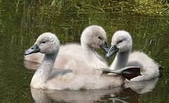 DSC04886 (Argstatter) Tags: ´küken schwäne natur wasservögel vögel tier grau swans