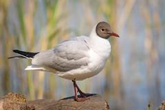 Black-headed Gull (breeding plumage)