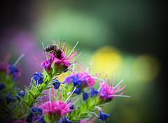 Impressionen aus Erlangen im Frankenland (Helmut44) Tags: deutschland germany bayern franken mittelfranken erlangen botanischergarten botanicalgardens natur blume blüte blossom flower biene insekt bee colorful