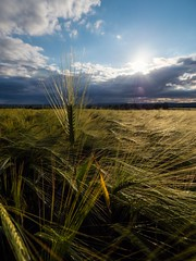 Wheat (jim2302) Tags: wide angle olympus 9mm 18mm m43 sky cloud blue penf pen sunray