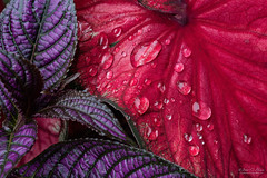 Strobilanthes and Caladium (John C. House) Tags: everydaymiracles nikon flowers closeup water red depthoffieldstacking macro purple nik johnchouse rain heliconfocus strobilanthes d810 waterdrops caladium