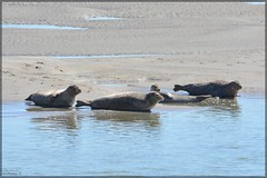 Phoques (Tonyo's Pictures) Tags: phoque otarie liondemer phoques otaries lionsdemer mer eau sea water sable sand animal animals animaux seal sealion bercksurmer berckplage baiedauthie baie dauthie pasdecalais nord