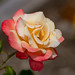 Women's Celebration, a Variety of Hybrid Tea Rose