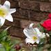 Easter Lily, Lilium longiflorum