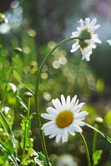 P1490806 (Sergei Spiridonov) Tags: pentacon2928 pentacon manuallens manualfocusing m42 micro43 mft bokeh blossom flower flowers garden inthegarden evening dof grass
