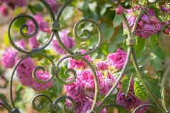 Garden Gate (Lindsey1611) Tags: roses pink rose gate summer june flower iron green sun sunshine helminghamhall suffolk asplendiddayout