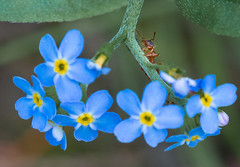 Ameise (yvonneniessen) Tags: ameise blume natur nature tierreich vergissmeinnicht