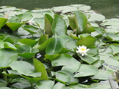 water lillies (VERUSHKA4) Tags: flora fleur flower canon china asia park shanghairegion village zhujiajiao water pond leaf lilly waterlilly nature blossom may spring springtime eau green verdure white