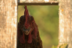 CS2552019005PRF (asturberon) Tags: asturias asturies caso parquenaturalderedes mundorural farm pitu gallo coq rooster hahn