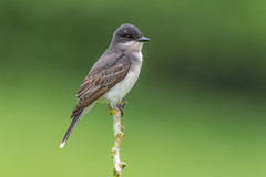 Eastern Kingbird (Joe Branco) Tags: green grass nature ontario canada birds bird songbirds branco joe lightroom photoshop macro joebrancophotographer nikond850 wildlifephotographer easternkingbird