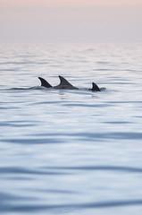 Grands dauphins (Laura Carrier) Tags: grand dauphin tursiops truncatus dolphin common bottlenose al lark bretagne breizh illeetvilaine ille et vilaine mer ocean baby bébé adulte juvénile laura carrier
