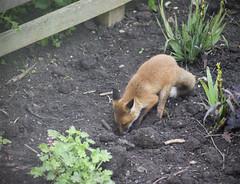 The Fox in the Garden (Craig 2112) Tags: fox vulpesvulpes garden wild northamptonshire cub
