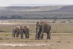 Family Outing (BikerBoy33) Tags: kenya african elephants herd young wildlife landscape masai maasai mara park reserve safari travel sony alpha a6000 wildebeest savannah plains