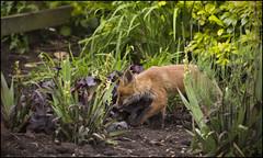 Fox in the Garden (Craig 2112) Tags: fox cub vulpesvulpes wild garden northamptonshire