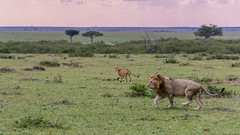Speed vs Brawn (BikerBoy33) Tags: kenya african lion cheetah hunt chase masai maasai mara safari travel wildlife landscape sony alpha a6000