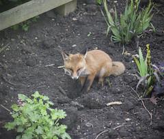 The Fox in the Garden (Craig 2112) Tags: fox vulpesvulpes northamptonshire garden wild cub