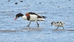 Shellduck (LouisaHocking) Tags: hayle estuary cornwall england nature wild wildlife bird british seabird shellduck duck waterfowl wildfowl