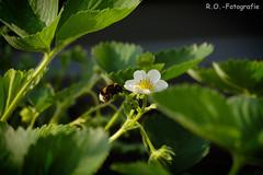 Hummel / Bumblebee (R.O. - Fotografie) Tags: hummel bumblebee outdoor garden garten erdbeere strawberry nieheim rofotografie panasonic lumix dmcgx8 dmc gx8 gx 8 leica 300400mm outside