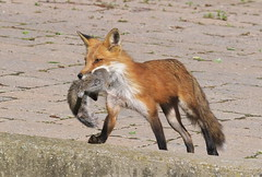 Red Fox (Vulpes vulpes) with Grey Squirrel (Sciurus carolinensis) (Gavin Edmondstone) Tags: vulpesvulpes redfox fox sciuruscarolinensis greysquirrel graysquirrel