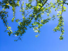 Celebrating Spring (PEEJ0E) Tags: spring sun branches branch nature sky leaf leaves tree