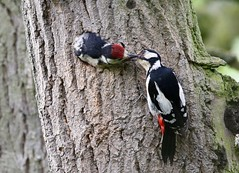 Mother Great Spotted Woodpecker feeding chick (Paul Cottis) Tags: paulcottis netherbroughton bird uk leicestershire woodpecker may 2019 30 young