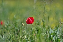 Poppy in 3D | Tair 11a 135 mm f /2.8 M42 | IMGP2541cc (horschte68) Tags: poppy weeds meadow grass mohnblume wiese offenblende wideopen tair11a135mmf28m42 composition pentaxkp bokeh dof depthoffield draussen outside nature natur primelens manualfocus manuallens