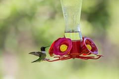 sagawau canyon. june 2019 (timp37) Tags: hummingbird bird humming illinois feeder june 2019 sagawau canyon