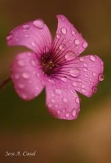 Flor (Jose A. Casal) Tags: florescasa2019