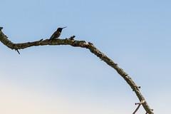 contemplation (timp37) Tags: contemplation illinois june 2019 bird humming hummingbird sagawau canyon branch