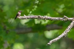 hanging out (timp37) Tags: bird branch illinois june 2019 humming hummingbird sagawau canyon