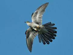 Cuckoo (JS_71) Tags: nature wildlife nikon photography outdoor 500mm bird new spring see natur pose moment outside animal flickr colour poland sunshine beak feather nikkor d500 wildbirds planet global national wing eye watcher
