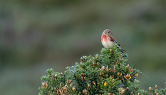 linnet... (petegatehouse) Tags: linnet smallbird gorse