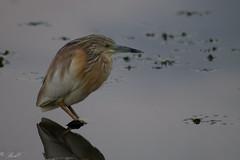Ralreiger-2019-06-08-0874 (Bartele) Tags: ardeolaralloides ardéidés crabierchevelu lacpoucharramet pélécaniformes ralreiger squaccoheron bird oiseau