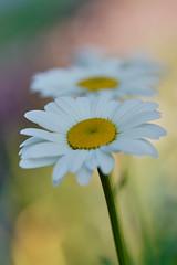 Haninge - Juni 2019 (Hamza Küçükgöl) Tags: wwwhkfoto82wixcomhkfoto hkfoto hamza hamzakucukgöl hkcine hamzakucukgol hamzaküçükgöl kücükgöl kucukgöl küçükgöl kucukgol cicek bokeh blommor fullframe ff flower sverige stockholm sweden sony sommar 90mm28g a9 2019 sony90mm28macro sonya9 hkfoto1982 hkfoto1891 color