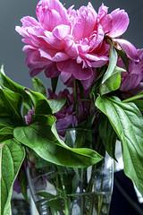 Peonies Six (CloudBuster) Tags: peonies pioenrozen natuur nature spring voorjaar bloei rose pink groen