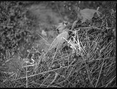 cluster of dried grass - straw, tiny wildflowers, pathway, Asheville, NC, Mamiya 645 Pro, mamiya sekor 45mm f-2.8, Bergger Pancro 400, HC-110 developer, 6.6.19 (steve aimone) Tags: straw driedgrasses tinyblossoms wildflowers pathway asheville northcarolina mamiya645pro mamiyasekor80mmf28 mamiyaprime primelens berggerpancro400 hc110developer monochrome monochromatic blackandwhite mediumformat 120 120film film
